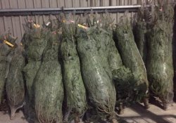 Xmas trees on sale at The Mile